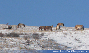 takhi wild horses at Khustai National Park in winter