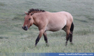 a takhi wild horse walking in Khustai Mountain
