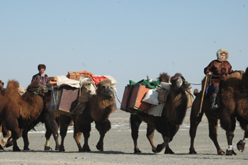 camel carawan competition
