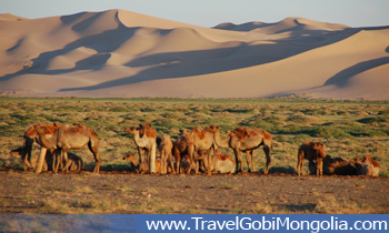 camels are near to the Khongor Sand Dune