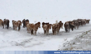 horses in winter in Central Mongolia