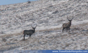 maral deers are in Khustai National Park in winter