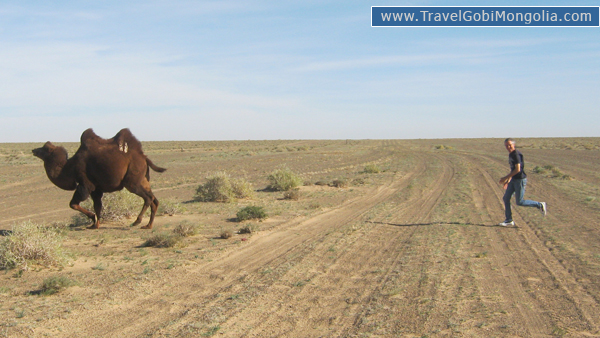 our customer is chasing the camel in Gobi
