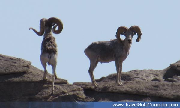 wild sheep argali in Mongolia