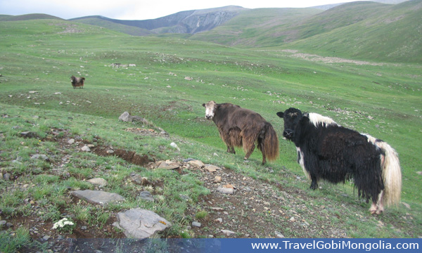 this area is home of the yaks